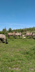 Konink paarden Oostvaardersplassen